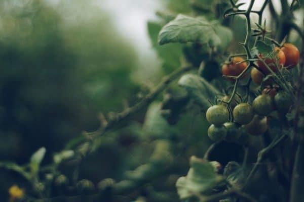 Quel type de pieu pour les tomates?