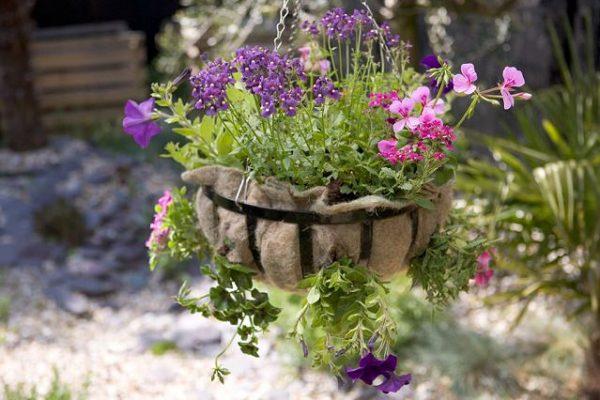 Comment replanter le pourpier?