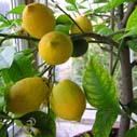 Comment protéger un citronnier en hiver?