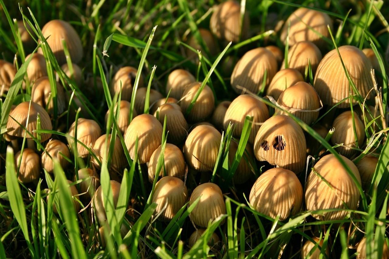 Pourquoi les champignons poussent-ils en rond?