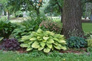 Pourquoi mon hortensia a-t-il des feuilles jaunes?